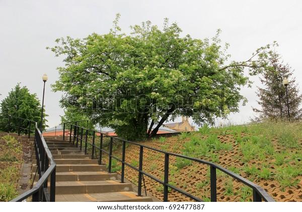 stairs-flowering-tree-rowan-600w-6924778