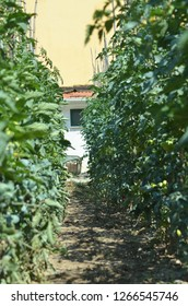 Staked tomato plants are covered with lush green leaves and green tomatoes. A dirt path between the rows leads to a white-washed farmhouse. The sky is a dusty orange.