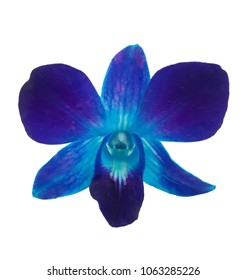 The stalk of a dendrobium orchid is injected with a blue dye solution. The color of Turquoise.