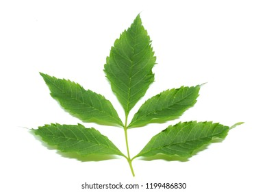 Stalk and green leaves of Yellow elder flower or Trumpetbush,Trumpetflower on white background