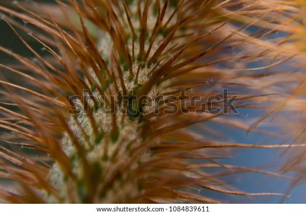 Stalk of jatoba flower