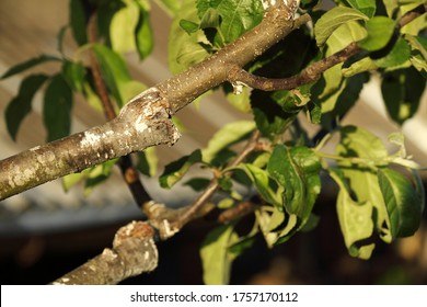 stalk overgrown with cambium, grafted on a branch of an apple tree last spring. Successful grafting fruit tree