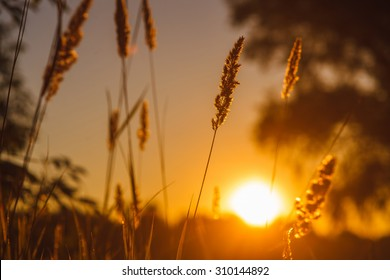 stalk of wheat grass close-up photo silhouette at sunset and sunrise in the summer, nature sun sets yellow background