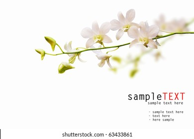 Stalk of white dendrobium orchid isolated on white background