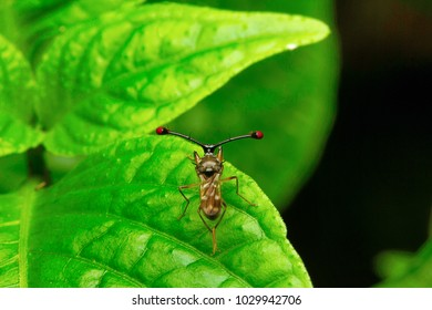 Stalk-eyed flies (Diopsidae): Modelling the evolution and ...