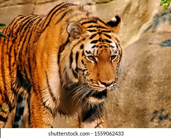 Stalking Tiger in tall grass close up