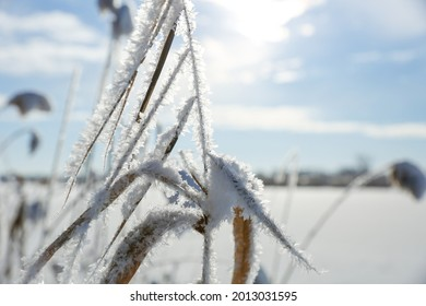 stalks of grass covered with snow in winter on a lake on a sunny day