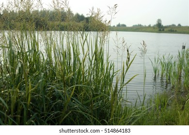stalks of grass on the river bank