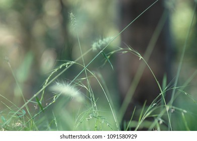 Stalks of green grasses with pale flower buds. Each bud is covered with spike-shaped flowers. A shallow depth of field is used, giving an out-of-focus green background.