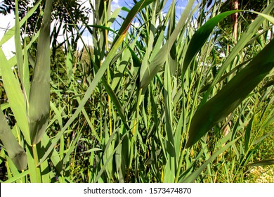 stalks with reeds leaves, green plant lit by sunlight closeup, nature background.