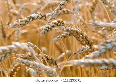 Stalks of ripe wheat close up with detail. Golden stalks of wheat bend to the left. Concepts of harvest, agriculture, farming, tariffs, trade war