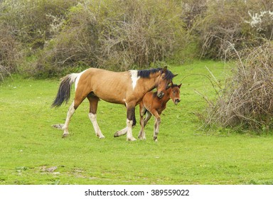 stallion and foal walking together on a green meadow on a background of trees and bushes