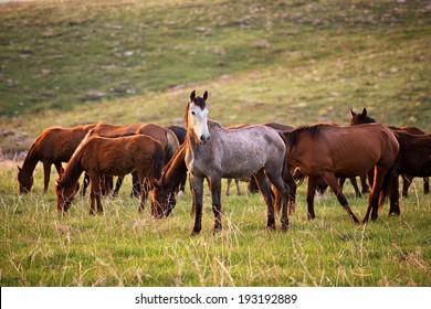 Stallion grazing herd guards