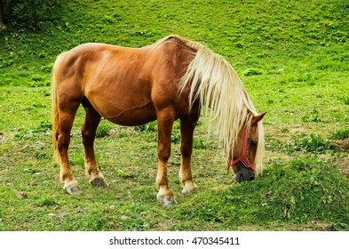stallion with long horse hair at pasture and green grass