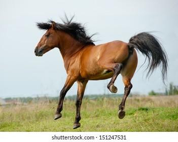 Stallion playing
