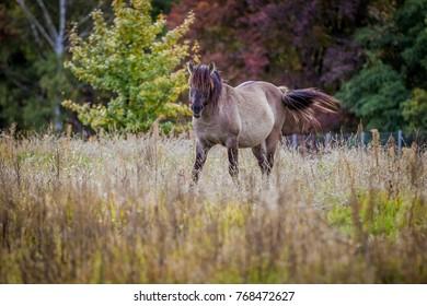Stallion of Polish conic grazing in autumn field