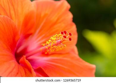 The stamen of a Hibiscus flower, Kauai, Hawaii