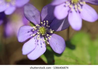 stamen and pistil of flower of  liverleaf in spring, Hepatica nobilis specie