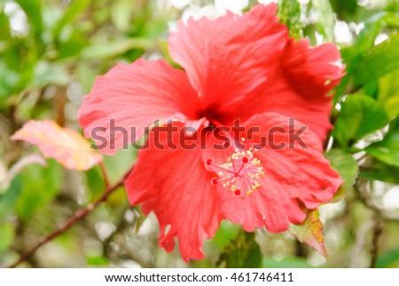 Stamen Red Hibiscus Flower Shallow Focus Stock Photo Edit Now