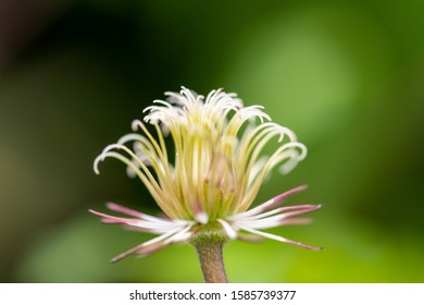 Stamens and pistil of the Italian Clematis without petals