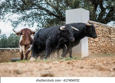 Stampede of spanish fighting bulls