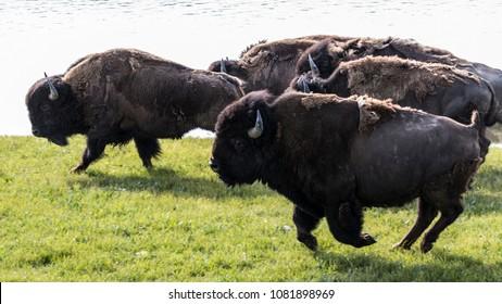 A stampeding bison herd trampling through Hayden Valley in Yellowstone National Park (Wyoming).