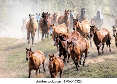 Stampeding Horses running in Montana