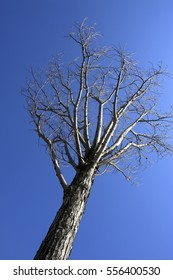 Stand alone leafless tree in winter clear sky