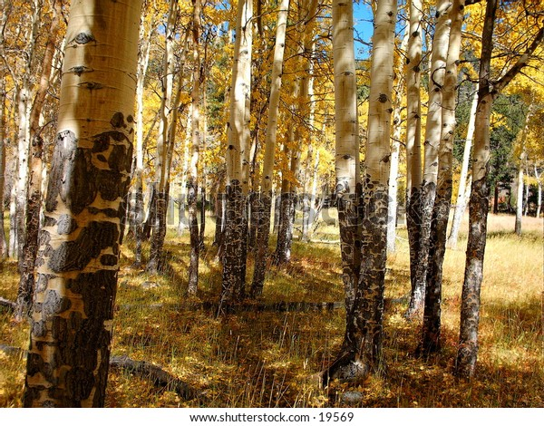 A stand of aspens in the forest with aspen glow