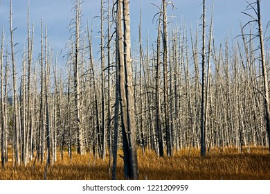 A stand of dead lodge pole pine trees that couldn't tolerate the toxic waters from nearby thermal areas.
