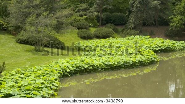 Stand of Lotus (Nelumbo nucifera) Hugging the Shore