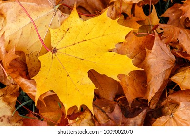 Stand out from the crowd - a bright yellow brown leaf against a background of brown autumn leaves.  Be yourself. Be Individual.