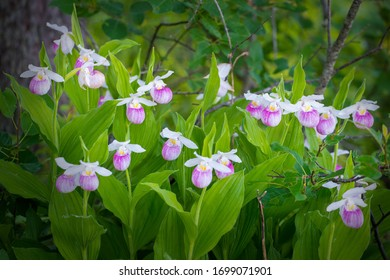 A stand of showy lady slippers in bloom.