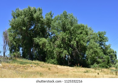 A stand of trees against a clear blue sky