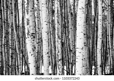 A stand of trees in black and white in a wintry season landscape