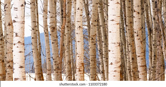 A stand of trees in a wintry season landscape white Aspen Tree group