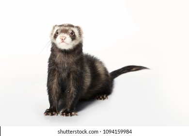 Standard color male ferret on white background