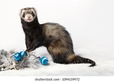 Standard color male ferret in winter christmas style posing in studio