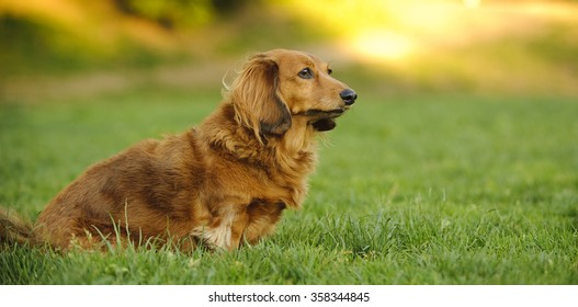 Standard Dachshund sitting in the lush grass