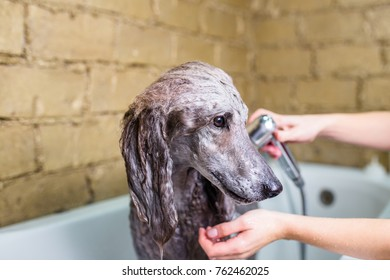 Standard grey poodle at grooming salon having bath.