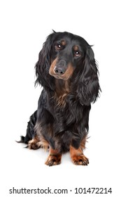 standard long-haired dachshund in front of a white background