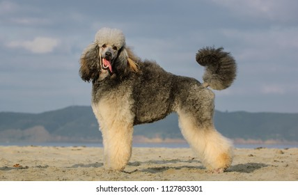 Standard Poodle dog outdoor portrait standing on beach