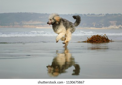 Standard Poodle dog outdoor portrait running on wet sand beach with reflection