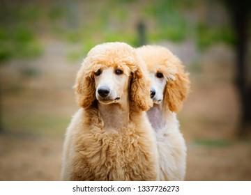 Standard Poodle dog outdoor portrait