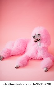 Standard Poodle with dyed neon pink fur posing in front of a pink background
