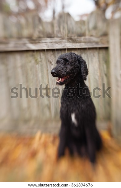 Standard Poodle Looks Happy Rustic Wooden Stock Photo Edit