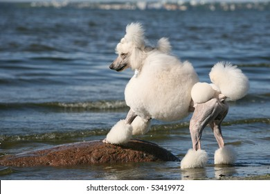 Standard Poodle on the Beach