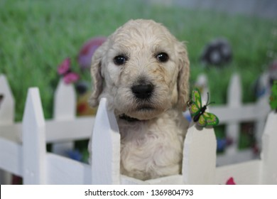 Poodle Images Stock Photos Vectors Shutterstock