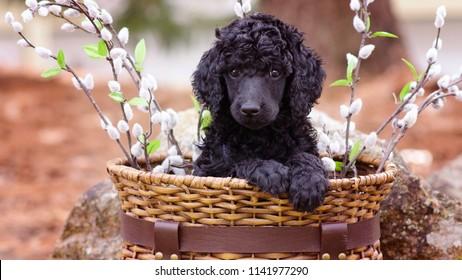 Standard Poodle Puppy in Basket