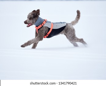 Standard poodle running and enjoying the snow on a beautiful winter day. Playful dog in action on a snowy field in Finland. Active lifestyle in concept.